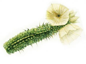 кактус худия